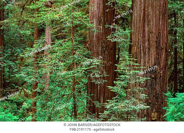 Mature redwood trees (Sequoia sempervirens) rise above young saplings in understory, Prairie Creek Redwood State Park, northern California, USA