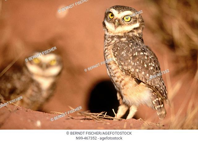 Burrowing owl (Athene cunilaria) couple sitting in front of a rabbit burrow. Chapada dos Guimaraes. Brazil