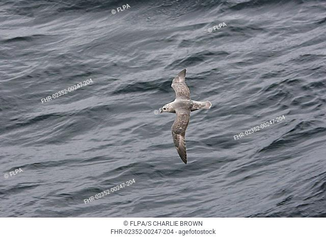 Northern Fulmar Fulmaris glacialis dark form, adult, in flight over sea, Spitsbergen, Svalbard, june