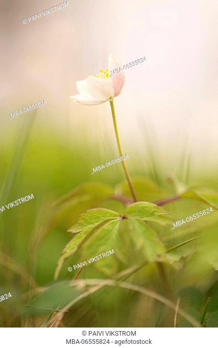Windflower, Wood Anemone, Anemone nemorosa