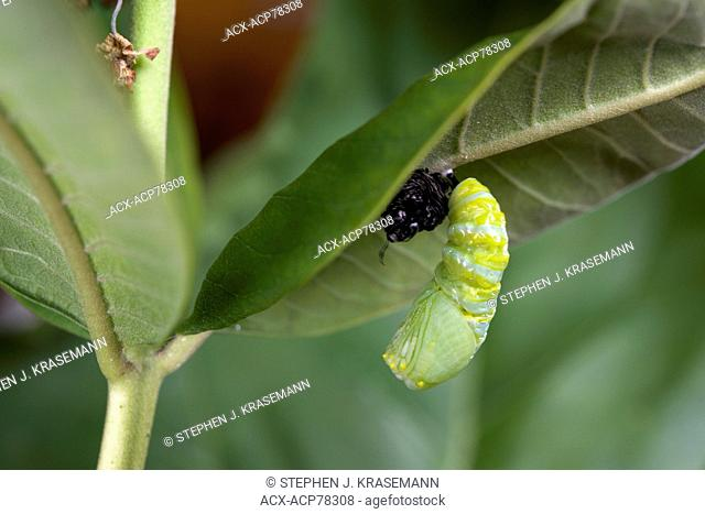 Monarch butterfly at pupa or chrysalis-forming stage, attached to milkweed leaf. (Danaus plexippus). Near Thunder Bay, Ontario, Canada