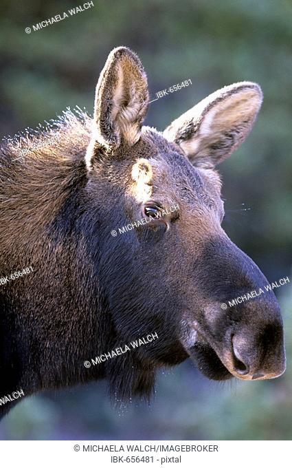 Moose (Alces alces), close-up of young bull moose