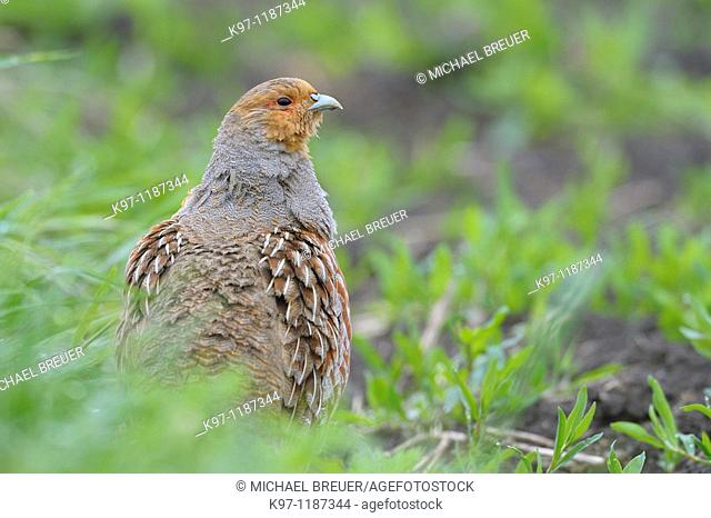Grey partridge (Perdix perdix), Spring, Germany