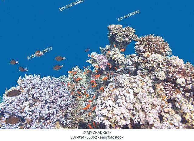 colorful coral reef with fishes scalefin anthias in tropical sea