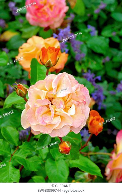 ornamental rose (Rosa 'Westzeit', Rosa Westzeit), cultivar Rosa 'Westzeit