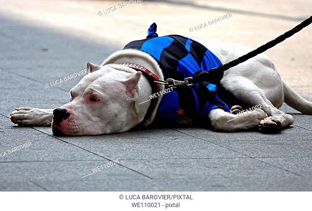 White Pitbull with black and blue stripes t-shirt, convinced supporter of F C  Internazionale