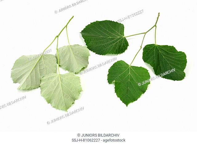 Silver Lime, Silver Linden (Tilia tomentosa) Twigs with leaves from above and from the backside, Studio, cutout