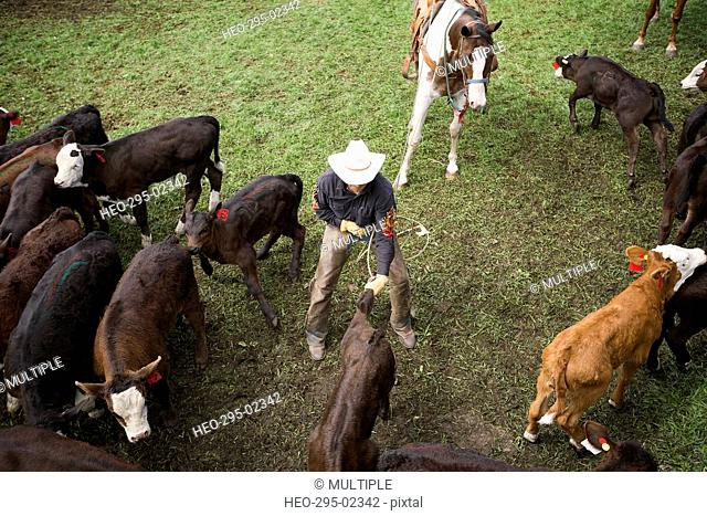 Cattle rancher rounding up cattle