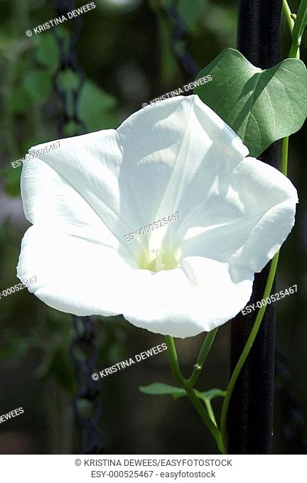 A single Moonflower blossom