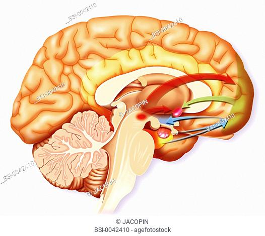 Birth of love desire. Representation of what it happenning in the brain at the birth of love desire. Blue arrows : The hippocampus memory area