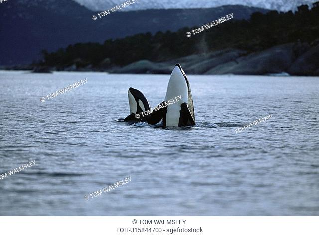 Killer whale Orcinus orca Mother and calf spy-hopping together. Mid-winter in Tysfjord, Norway