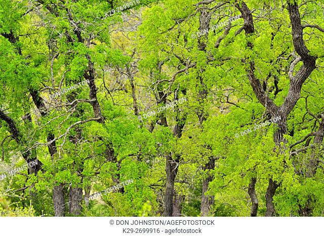 Spring trees in Texas Hill Country, Johnson City, Texas, USA