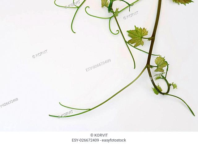 young vine with beautiful leaves on a white background