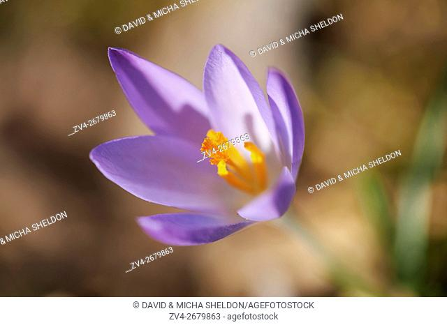 Close-up of lilac Crocus blooming in spring