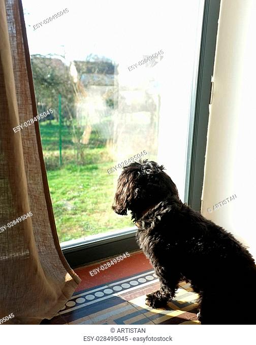 Black dog looking out window inside the house