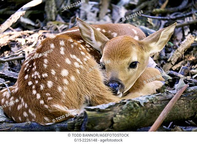 White-tailed deer fawn. Thatcher Woods Cook County Illinois