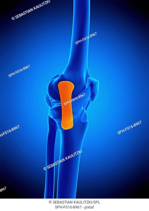 Illustration of the tibial collateral ligament