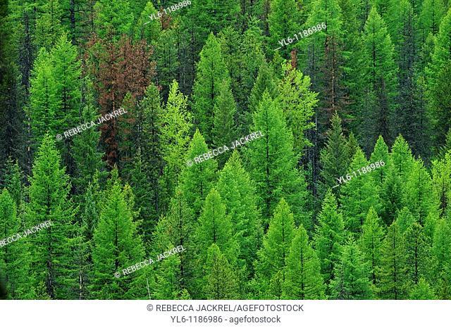 North America, United States, Montana, Glacier National park  Conifer forest