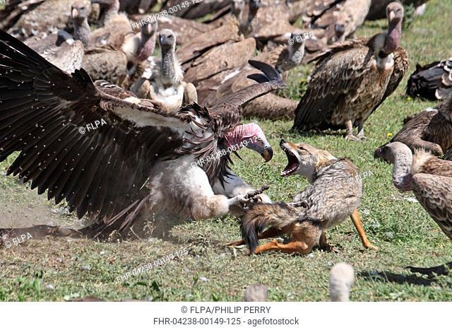Lappet-faced Vulture Torgos tracheliotus adult, defending carcass, attacking Golden Jackal Canis aureus, Nduthu, Serengeti, Tanzania