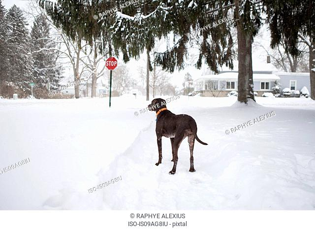 Guard dog standing outside house in snow, Petersburg, Michigan, USA