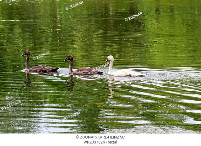 Young swans 5