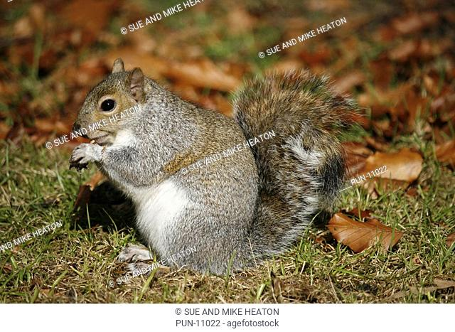 Grey squirrel sciurus carolinensis eating a nut in a Lancashire beech wood in autumn