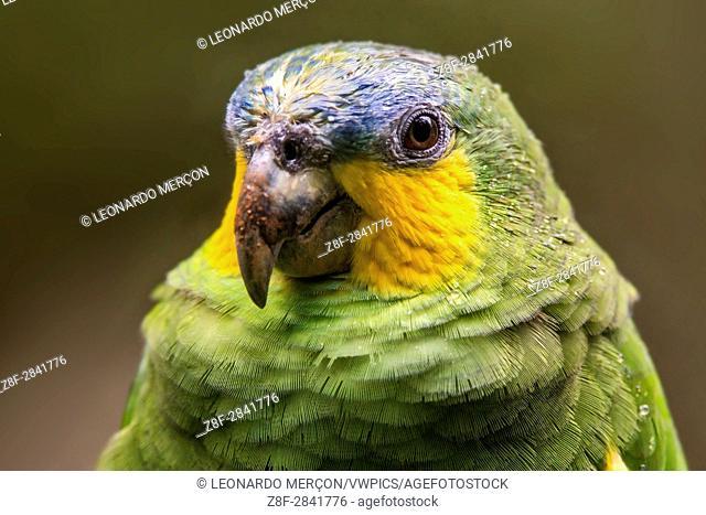 Orange-winged Parrot (Amazona amazonica), photographed in Santa Teresa, Espírito Santo - Southeast of Brazil. Atlantic Forest Biome