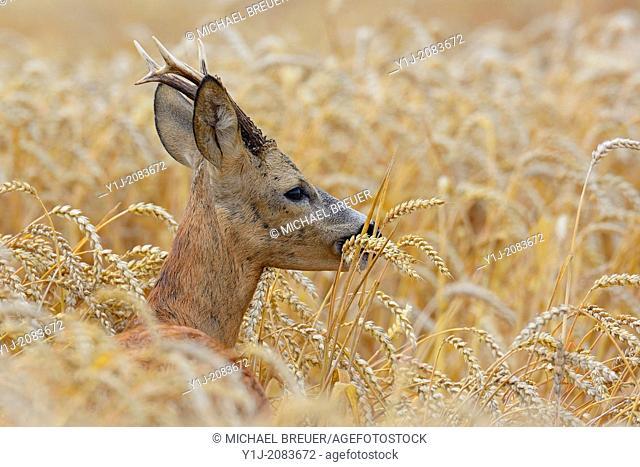 Roebuck eating in wheat field, Capreolus capreolus, Summer, Hesse, Germany, Europe