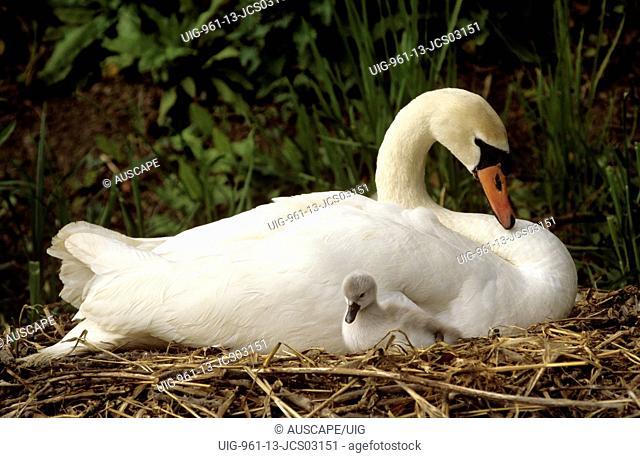 Mute swan mother and cygnet, United Kingdom