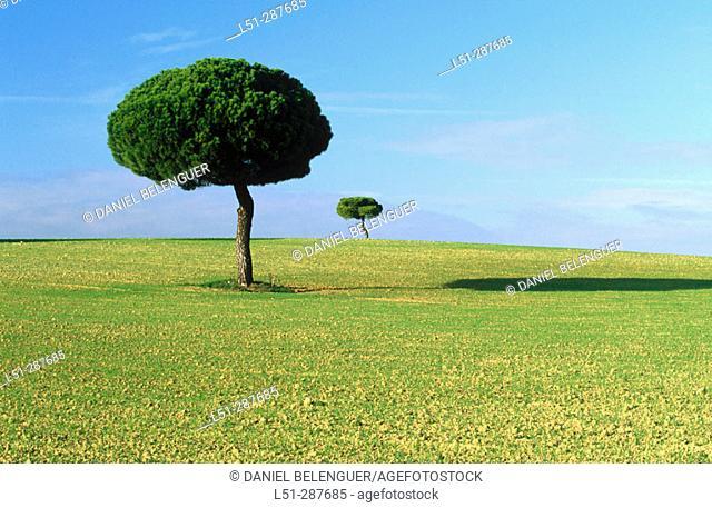 Stone pines (Pinus pinea) in cereal field plains. Lagunas de Villafáfila. Zamora province, Spain