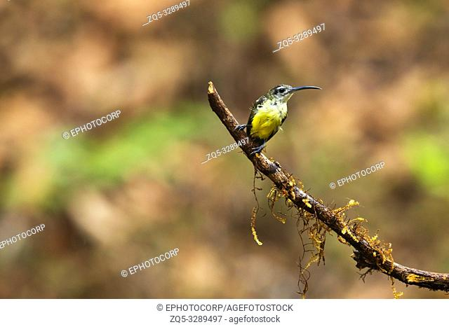 Little Spiderhunter, Arachnothera longirostra, Western Ghats, India