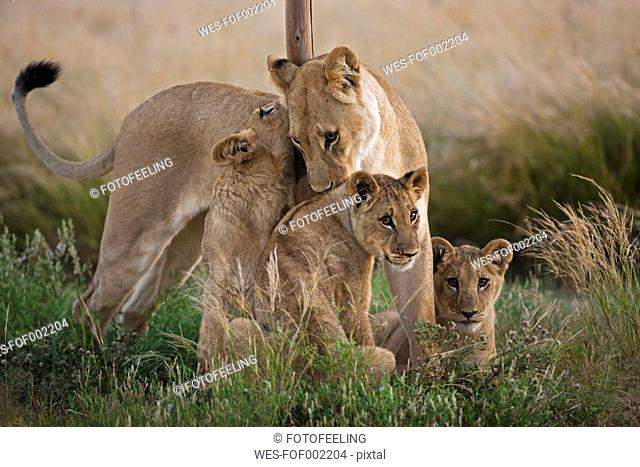 Africa, Botswana, Lioness with cubs in central kalahari game reserve