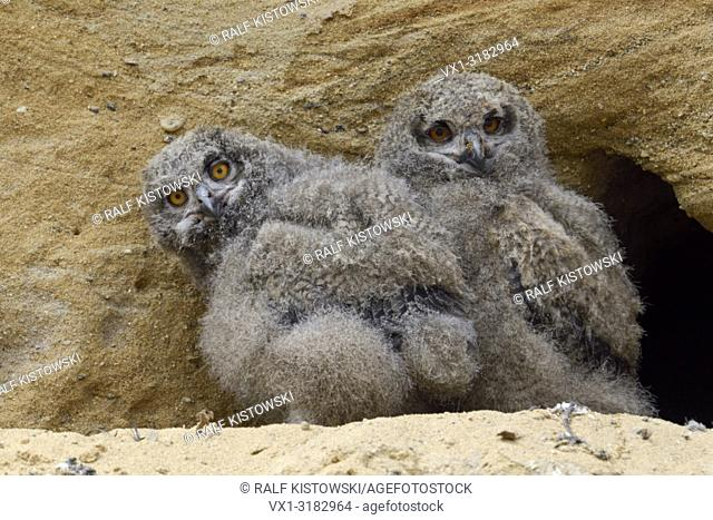 Eurasian Eagle Owls ( Bubo bubo ), young chicks, standing in front of their nesting site in a sand pit, funny, wildlife, Europe