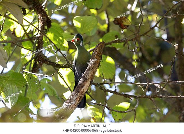 White-cheeked Turaco (Tauraco leucotis) adult, perched on branch in tree, Harrena Forest, Bale Mountains N.P., Ethiopian Highlands, Oromia Region, Ethiopia