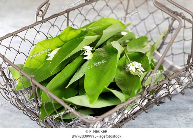 ramsons, buckrams, wild garlic, broad-leaved garlic, wood garlic, bear leek, bear's garlic (Allium ursinum), collected leaves in a basket, Germany