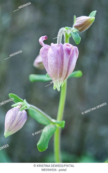 The closed blossoms of a pink columbine