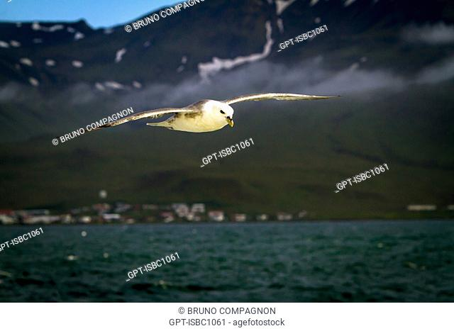 SEAGULL NEAR GRUNDARFJORDUR, SNAEFELLSNES PENINSULA, WESTERN ICELAND, EUROPE