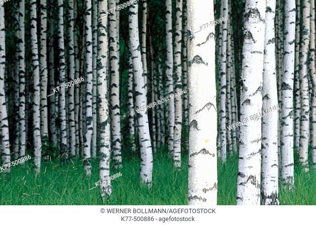 Birch grove (Betula pendula). Finland