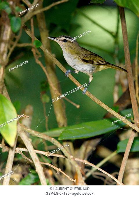Bird, Juruviara, Thirty-and-a, Ilha do Mel, Encantadas, Paraná, Brazil