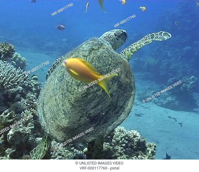 Close up of turtle swimming away