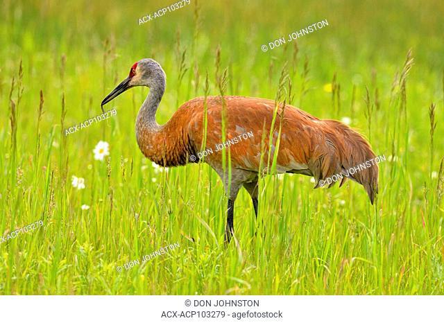 Sandhill crane (Grus Canadensis) Adult, Munising, Michigan, USA