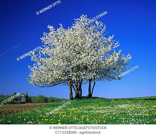 nature, seasons, spring, tree, freestanding, blossoming of a tree, white blooms, dandelion meadow, Hessian Highlands, Hesse. Germany