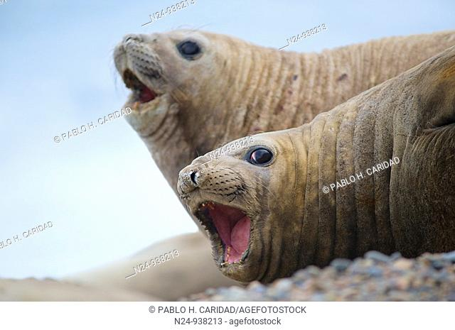 Two female cows of the southern elephant seal Mirounga leonina, belonging to a harem of an alpha male in Valdes Peninsula, Patagonia Argentina