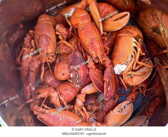 cooked lobsters, Cape Breton, Nova Scotia