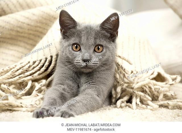 Chartreux cat indoors