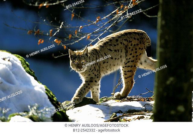 Lynx - Winter Lynx lynx, France