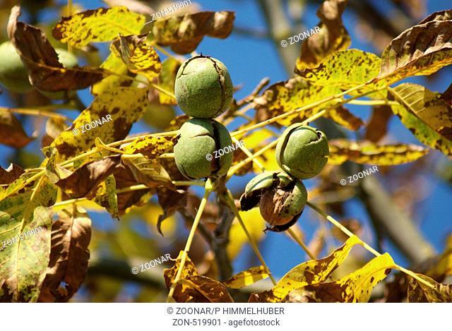 Reife Nüsse am Baum