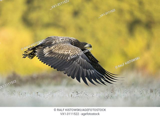 White tailed Eagle / Sea Eagle / Seeadler ( Haliaeetus albicilla ) in powerful flight close above frozen grassland, in front of autumnal coloured woods