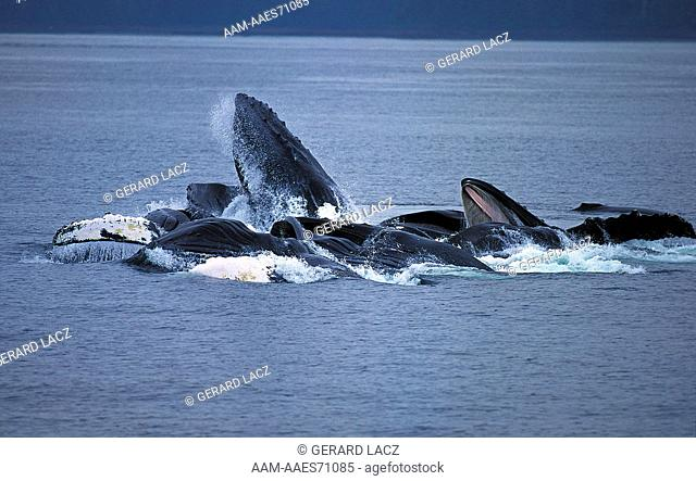 Humpback Whale (Megaptera Novaeangliae) Group Doing A Circle To Catch Krill, Alaska