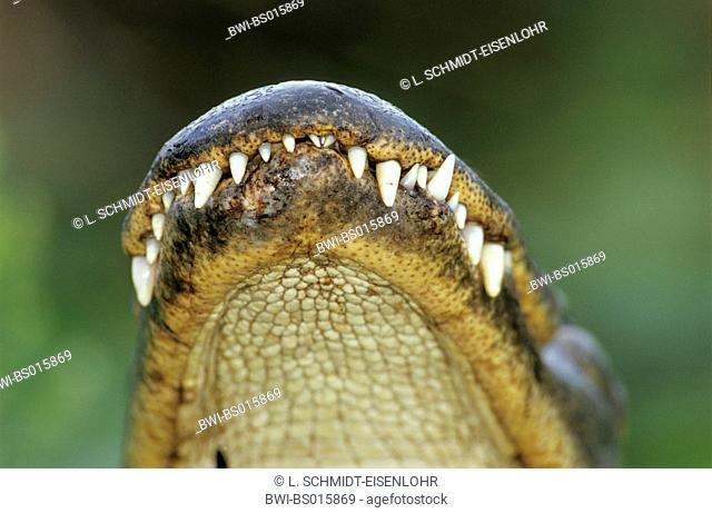 American alligator (Alligator mississippiensis), mouth, USA, Florida, Everglades Np